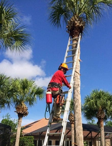 An employee climbing a palm tree using a ladder in preparation to prune it.