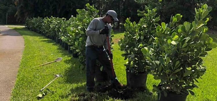 A Leo's Garden Care employee hand planting a line of shrubs along a driveway.