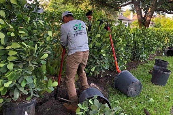 A Leo Garden Care employee preparing to plant new shrubs.
