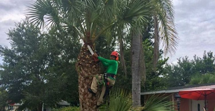 A Leo Garden Care employee pruning a palm tree while suspended uses safety equipment.
