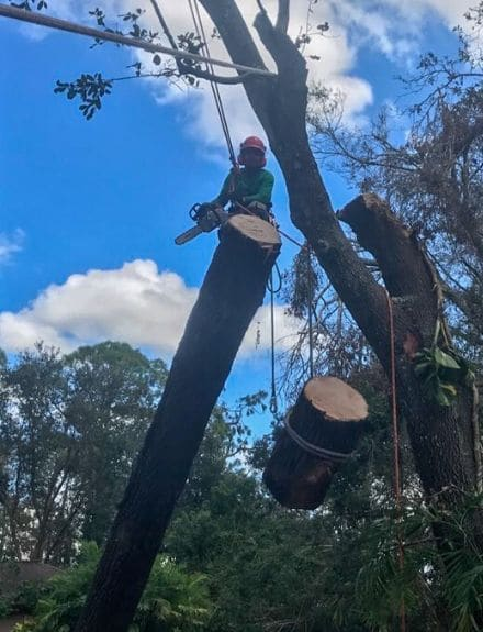A Leo Garden Care employee suspended by harness, using a chainsaw to remove unwanted branches.