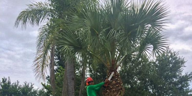 A Leo Garden Care employee pruning a palm tree.
