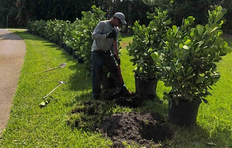 An employee of Leo Garden Care planting a line of bushes along a drive way.