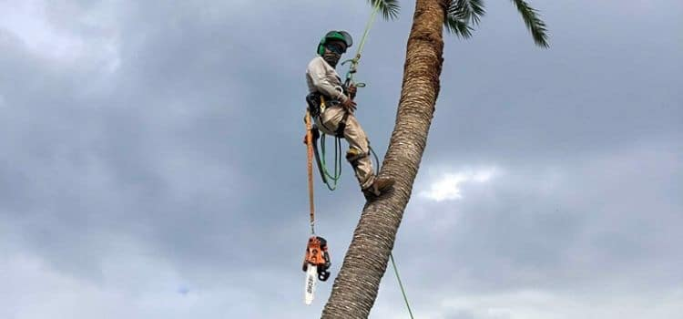 A Leo Garden Care employee in the process of climbing a very tall palm tree using specialized equipment.