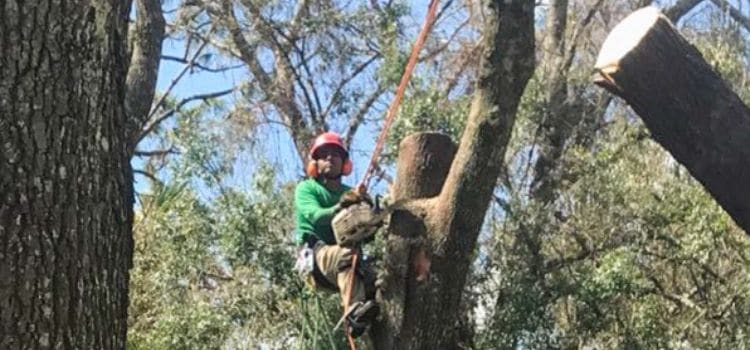 A Leo Garden Care employee in the process of removing a large tree.