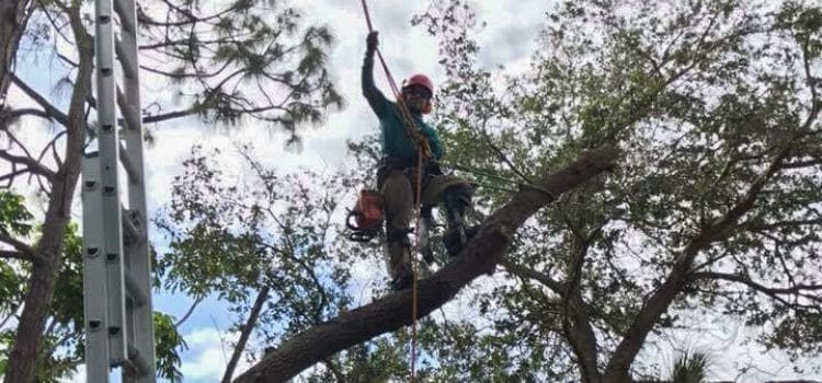 A employee of Leo's Garden Care suspended in a tree using pulleys and a harness to reach higher branches.