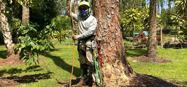 An employee hooked into safety gear getting ready to climb a large tree to trim the top branches.